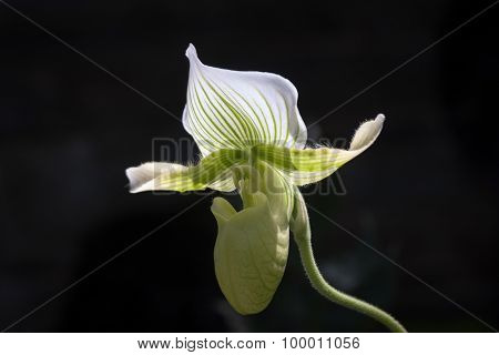 Sunlit White and Green Orchid