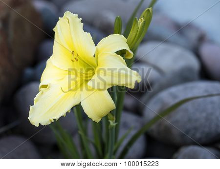 Yellow Lilly Flower In A Garden