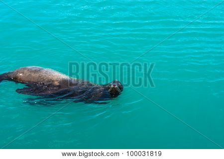 The sea lion in the water, California