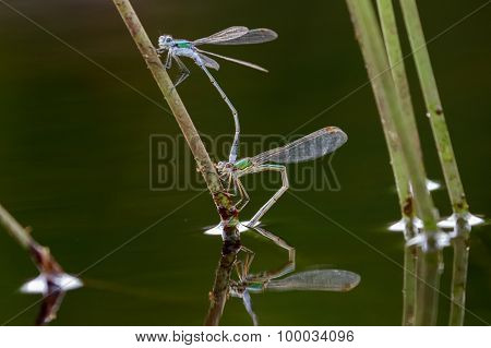 Emerald Damselflies