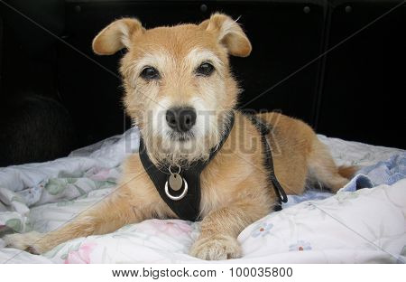 Cute pet Jack Russell / Yorkshire terrier cross dog on blanket