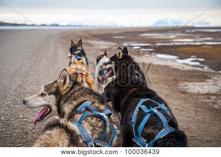 Sled Dogs Waiting To Pull The Sled