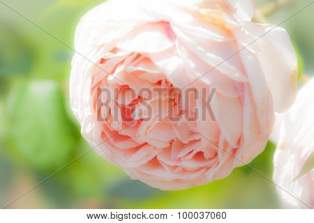 Soft Pink Double Rose