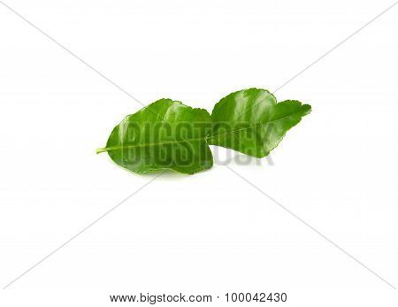 Fresh Lime Leaves On A White Background.