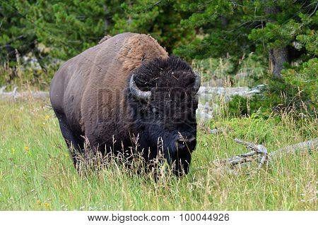 Roaming Buffalo