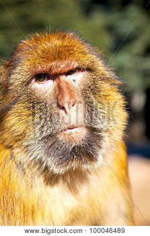 Old Monkey In Africa Morocco And Natural