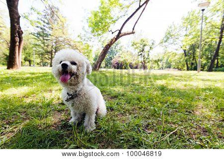 Bichon In The Park
