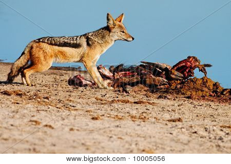 Black-backed Jackal (Canis mesomelas) scavenging from a Blue Wildebeest (Connochaetes taurinus) kill
