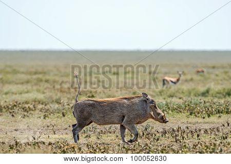 Warthog, Phacochoerus Africanus In Serengeti.