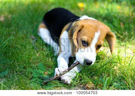 beagle puppy chewing a branch on a green grass