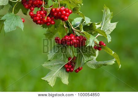 Branch Of Red Viburnum