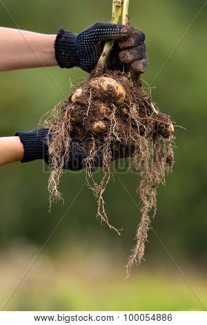 Hands With Digging Bush Potato
