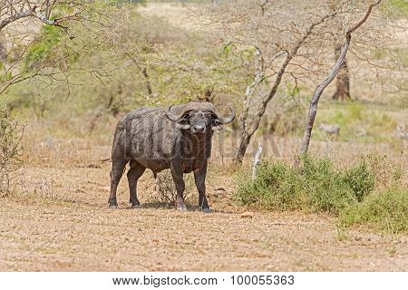 African Buffalo In Serengeti