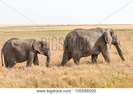 African Elephant In Serengeti National Park