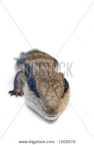 Blue Tongue Lizard #6