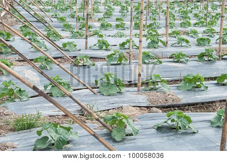 Plants Of Cantaloupe In Row Of Garden