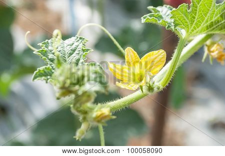 Young Yellow Cantaloupe Flower On The Plants