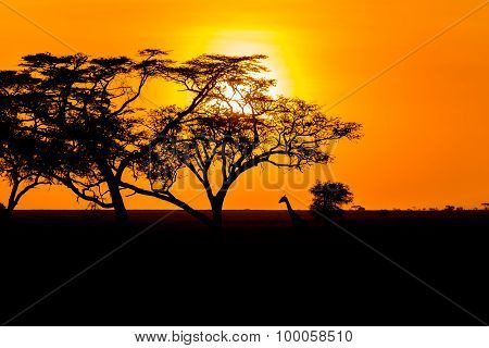 Sunset And Giraffe In Serengeti