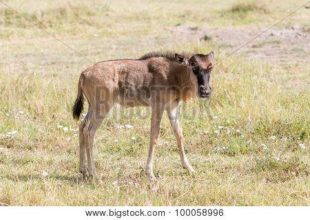 Blue Wildebeest In Tanzania