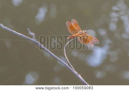Dragonfly Perched On A Twig, Blur Background