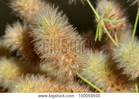 Wild flowers of Clover field extreme macro shot. (lat. Trifolium arvense)