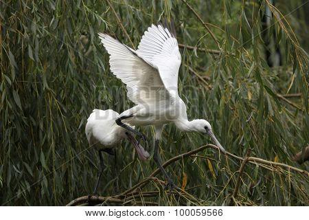 Eurasian spoonbill (Platalea leucorodia), also known as the common spoonbill. Wild life animal.