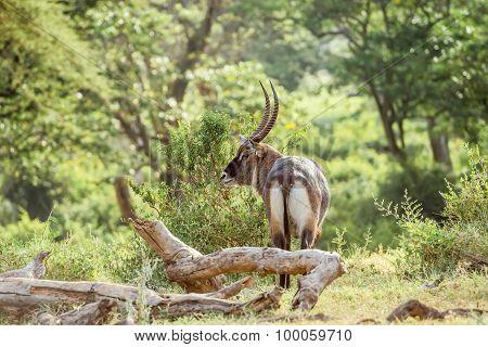 Single Male Waterbuck Antelope In Serengeti, Africa