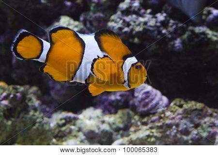 Clownfish Swimming In Lisbon