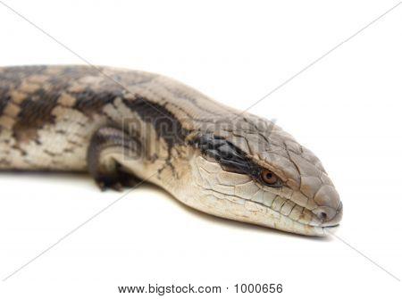 Blue Tongue Lizard #2