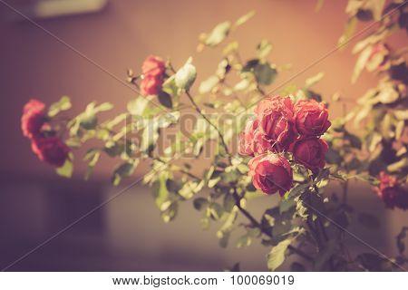 Vintage Photo Of Red Roses Flowers Blooming