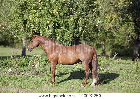 Beautiful chestnut quarter horse stand on meadow