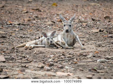 Gay Kangaroo With Joey