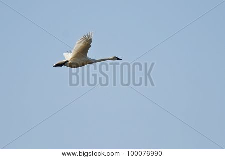 Tundra Swan Flying In A Blue Sky