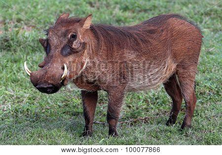 Wild African Warthog