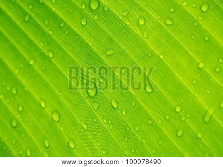 Abstract Drops Of Water Under Banana Leaf Background.