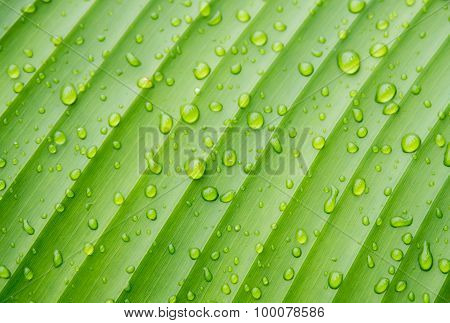 Abstract Drops Of Water On Banana Leaf Background.