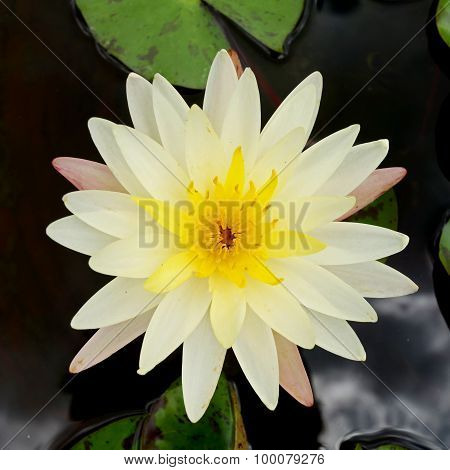 Day – Blooming Tropical Waterlily Blossom In The Morning Light.