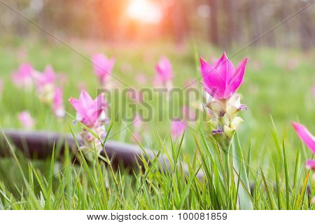 Siam Tulip Flower Field In Morning Sunlight