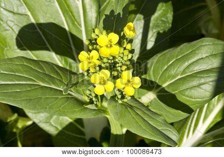 Bok Choy Flowers