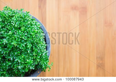 Green trees in pots On a wooden table composition is very beautiful vintage style