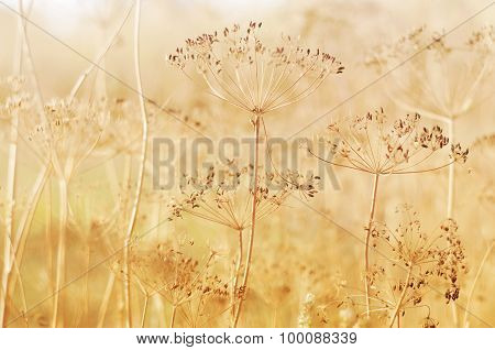 Dry Dill Plant On Field
