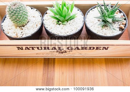 Vintage style of Natural Three Cactus Plants on Vintage Wood Background Texture