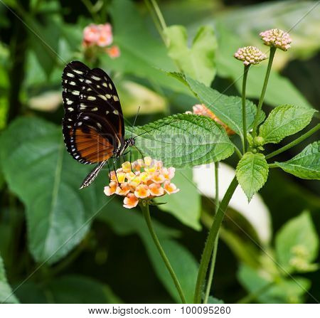 The Danaid Eggfly, female butterfly