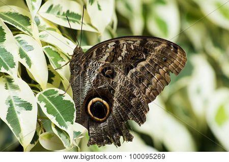 The Peleides Blue Morpho butterfly