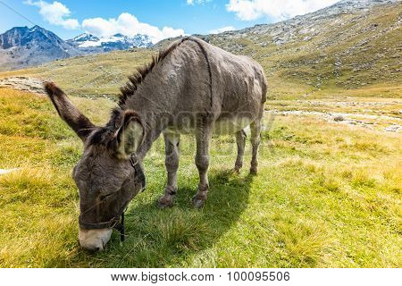 Cute Donkey Eating Grass In Mountain Landscape