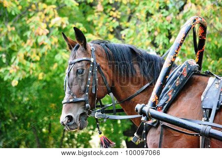 Head Of Horses Dark Red Color With A Harness (bridle, Arch Style Hohloma, Clamp), Close-up, Prof