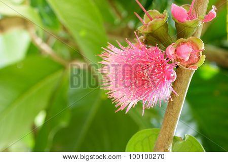 Malay Rose Apple Flower On Tree,malay Apple,pomerac Flower .