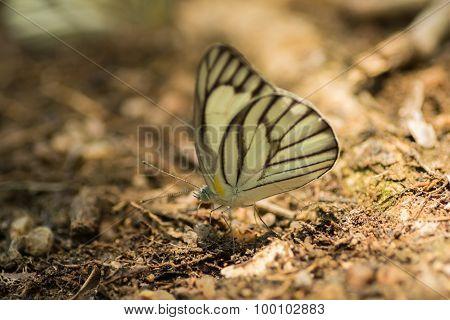 .butterflies Feeding