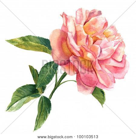 A vintage style watercolour drawing of a pink rose on white background