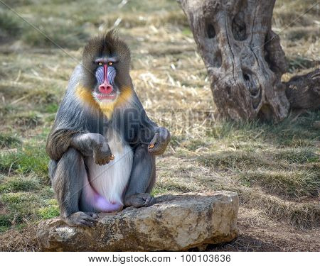 Colorful Male Mandrill Monkey